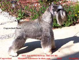 KennelCreations.com Miniature Schnauzer Nugget