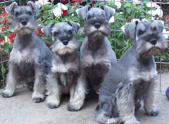 Schnauzer puppies - group