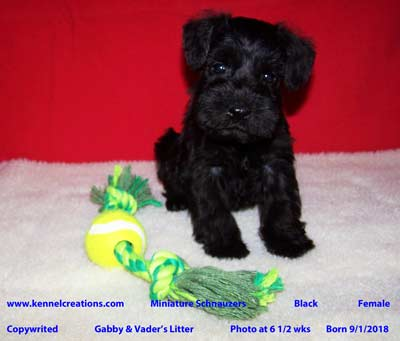 Kennel Creations Miniature Schnauzer Puppy