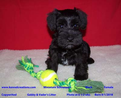 Kennel Creations Schnauzer Puppy